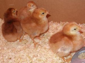 4-chicks