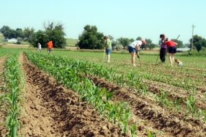 hoeing the corn by Rachel Carlson